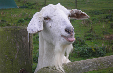 Got Your Goat Be Sweet Blog Waggle Dancing