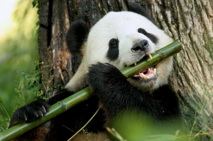 pictures-of-pandas-eating-bamboo